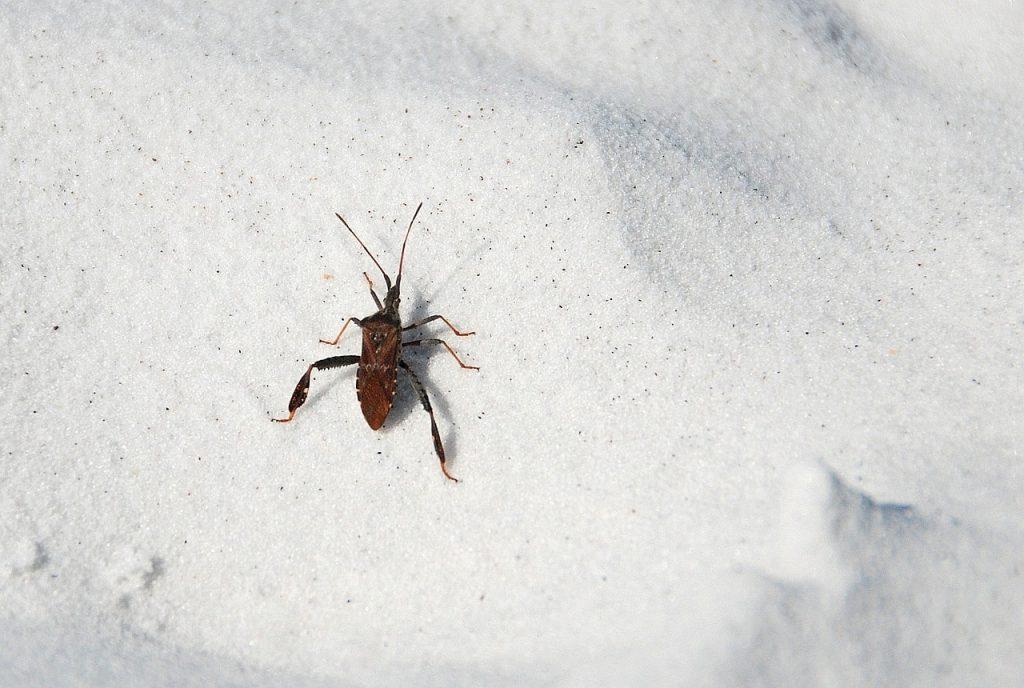 beach bug